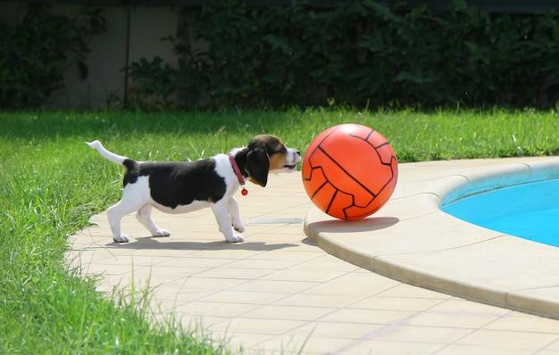 Schattige beagle puppy Premium Foto