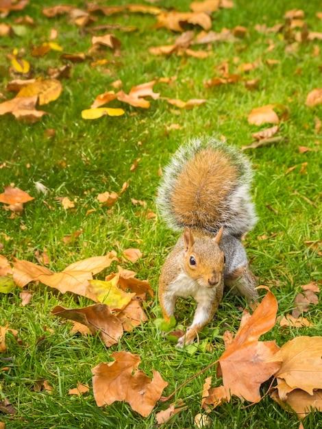 Schattige eekhoorn spelen met gevallen droge esdoornbladeren in een park overdag Gratis Foto