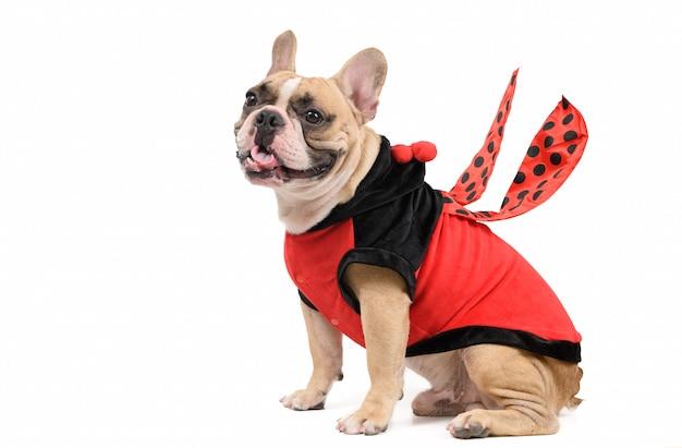 Schattige franse buldog die een leuk en grappig geïsoleerd lieveheersbeestje-kostuum draagt Premium Foto