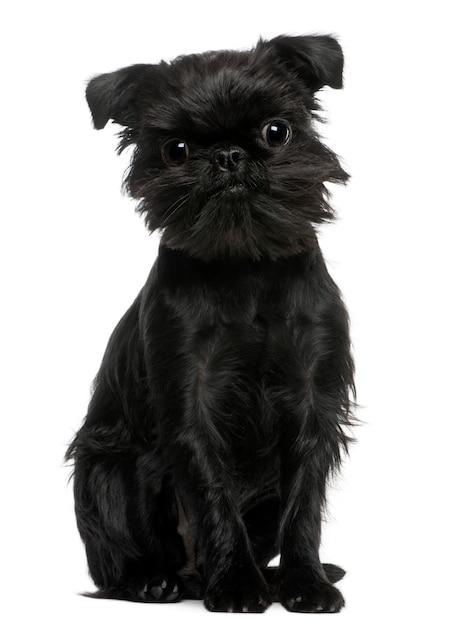Schattige hond portret geïsoleerd. griffon belge of griffon bruxellois Premium Foto