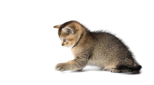 Schattige kitten schotse gouden chinchilla rechte ras kat spelen Premium Foto