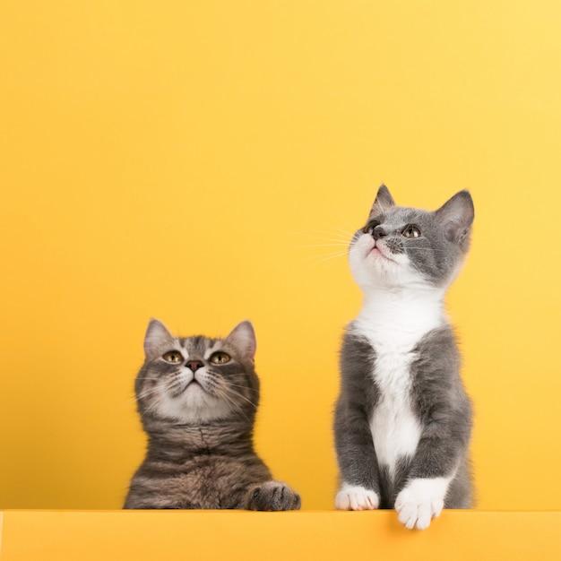 Schattige kleine grijze kat en kitten, op een gele, uiterlijk en speelt. buisiness, copyspace. Premium Foto