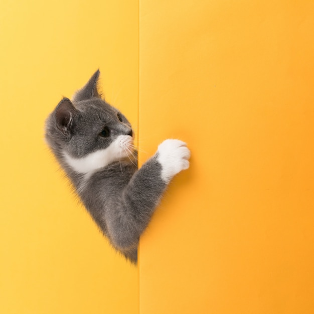 Schattige kleine grijze kat, op een geel, ziet eruit en speelt. buisiness, copyspace. Premium Foto