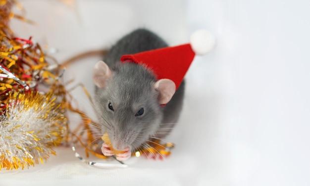 Schattige kleine grijze rat in de hoed van een nieuwjaar eten beetje kaas met kerstversiering Premium Foto