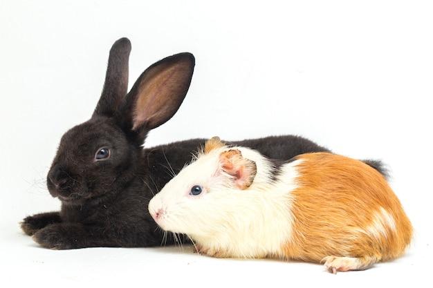 Schattige kleine rex zwart konijn en cavia | Premium Foto