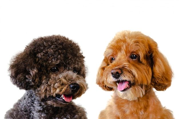 Schattige lachende bruin en zwart speelgoed poedel honden op witte achtergrond. Premium Foto