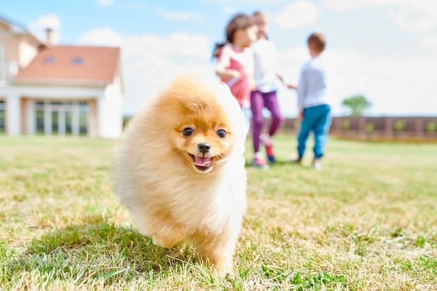 Schattige pommeren puppy Premium Foto