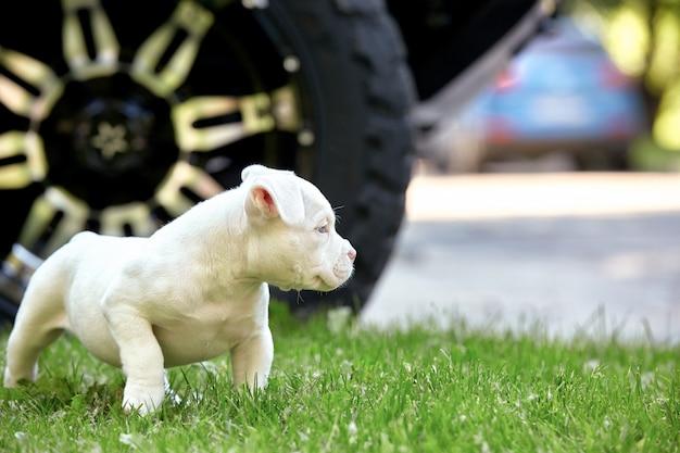 Schattige puppy spelen op het gras op de achtergrond van de auto. concept van de eerste levensstappen, dieren, een nieuwe generatie. puppy amerikaanse stier. Premium Foto