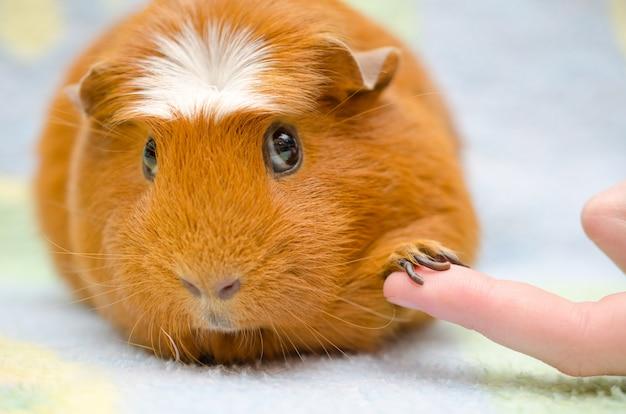 Schattige verlegen cavia met zijn poot op een menselijke vinger alsof handen schudden Premium Foto
