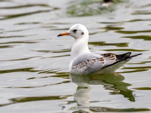 Schattige witte zilvermeeuw in het midden van het meer Gratis Foto
