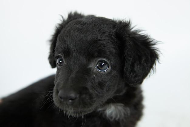 Schattige zwarte flat-coated retriever hond met een bescheiden gezichtsuitdrukking Gratis Foto