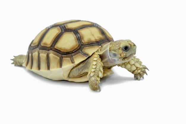 Schildpad geïsoleerd op een witte bestand bevat met uitknippaden dus het is gemakkelijk om te werken. Premium Foto