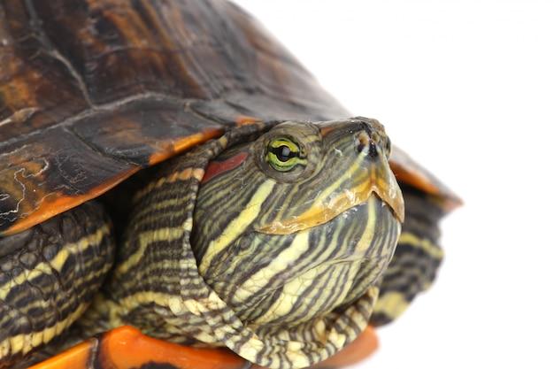 Schildpad hoofd Gratis Foto