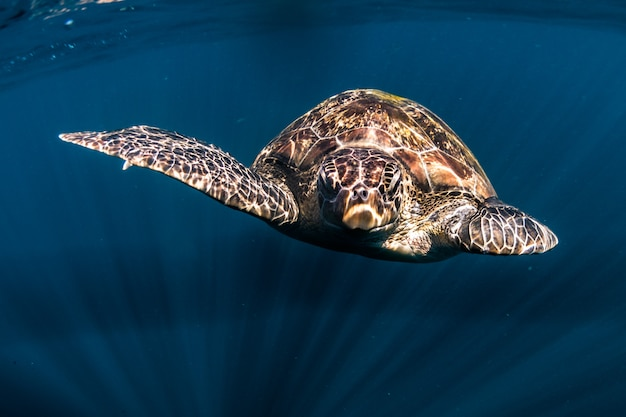 Schildpad zwemmen in de blauwe zee Premium Foto