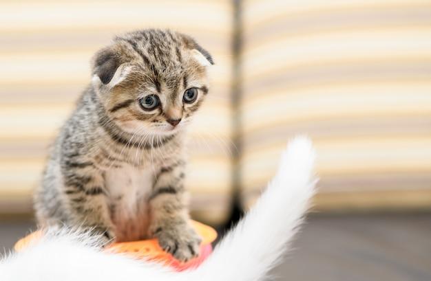 Schotse vouwen kitten en vriend spelen met speelgoed, Premium Foto