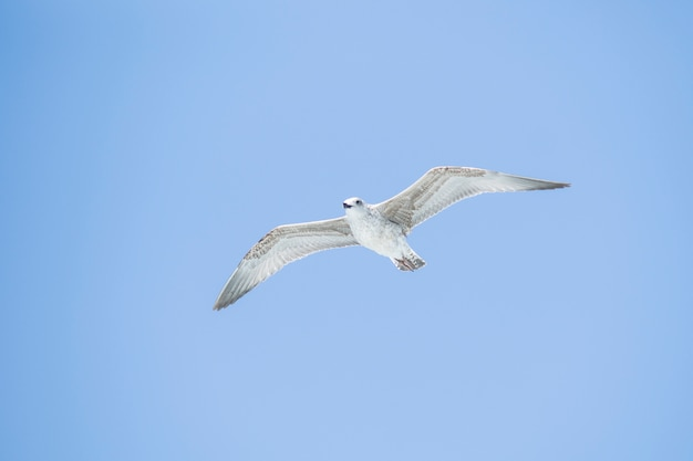 Seagull vliegen Gratis Foto