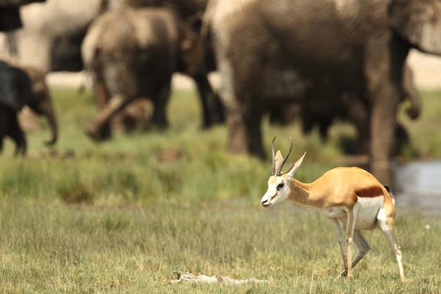 Selectieve aandacht close-up shot van een jonge gemsbok staande met een kudde olifanten Gratis Foto