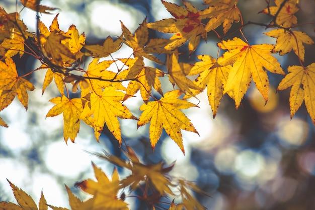 Selectieve aandacht op mooie esdoornbladeren in de herfst op bokehachtergrond Premium Foto