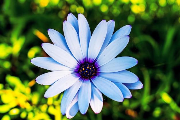Selectieve aandacht shot van blauwe afrikaanse madeliefjebloem Gratis Foto