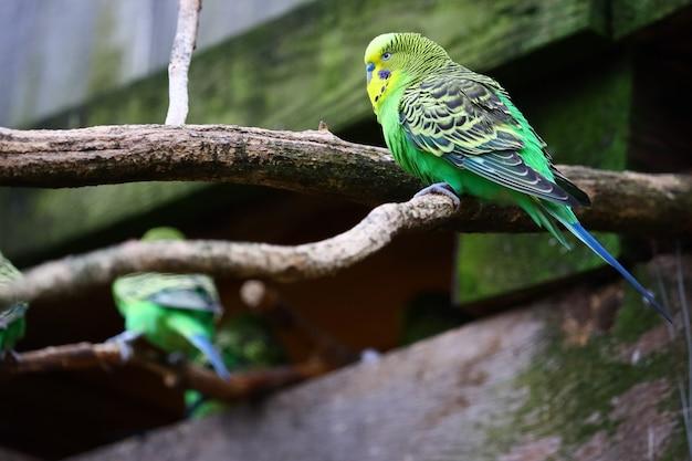 Selectieve aandacht shot van een groene budgie zittend op een tak Gratis Foto