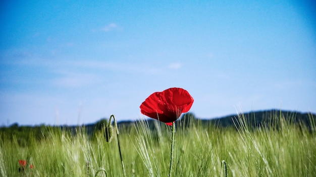 Selectieve aandacht shot van een rode papaver groeit in het midden van een greenfield onder de heldere hemel Gratis Foto