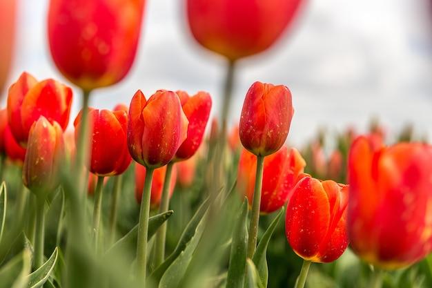 Selectieve aandacht shot van rode tulp bloemen Gratis Foto