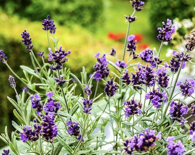 Selectieve aandacht van een groep paarse lavendelbloemen in de tuin met een onscherpe achtergrond Gratis Foto