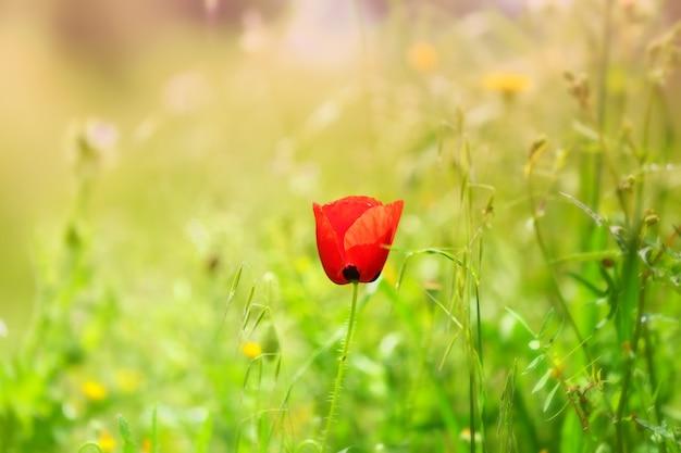 Selectieve aandacht van een rode papaver in een veld onder het zonlicht Gratis Foto