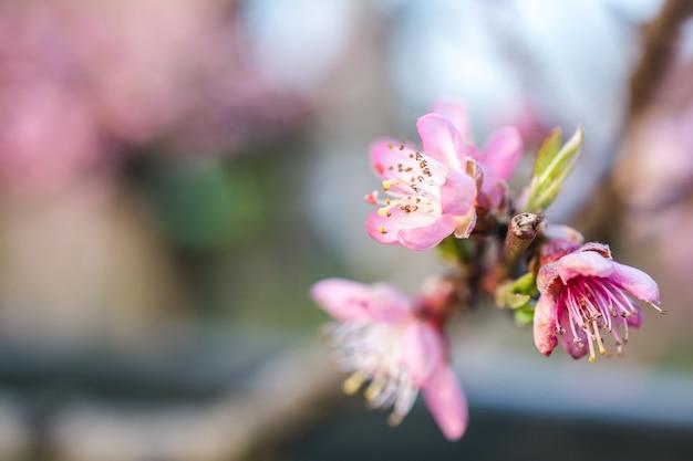 Selectieve aandacht van prachtige kersenbloesems in een tuin vastgelegd op een heldere dag Gratis Foto