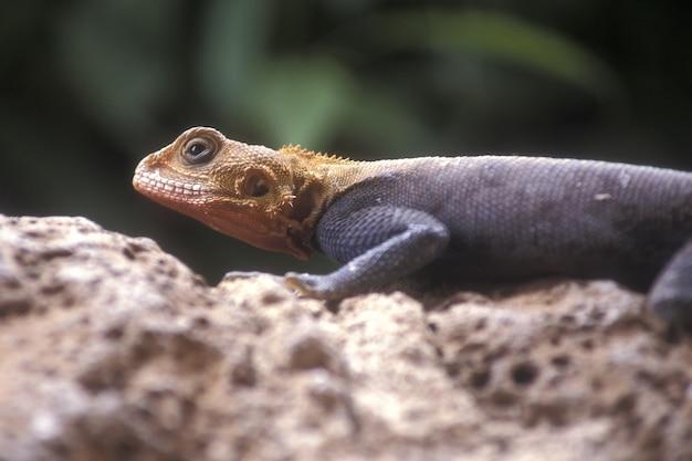 Selectieve close-up die van een oranje en grijze agama is ontsproten Gratis Foto