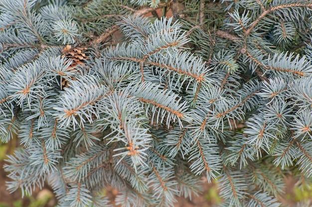 Selectieve focus shot van de takken van een blauwe sparren boom Gratis Foto