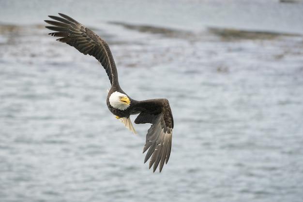 Selectieve focus shot van een adelaar die vrij over de oceaan vliegt op zoek naar een prooi Gratis Foto