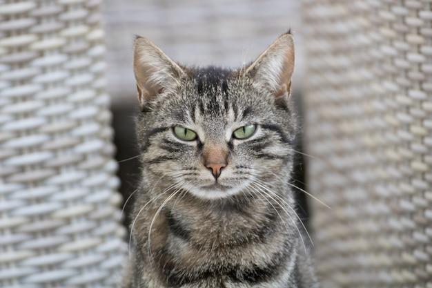Selectieve focus shot van een grijze kat met een boos kattengezicht Gratis Foto