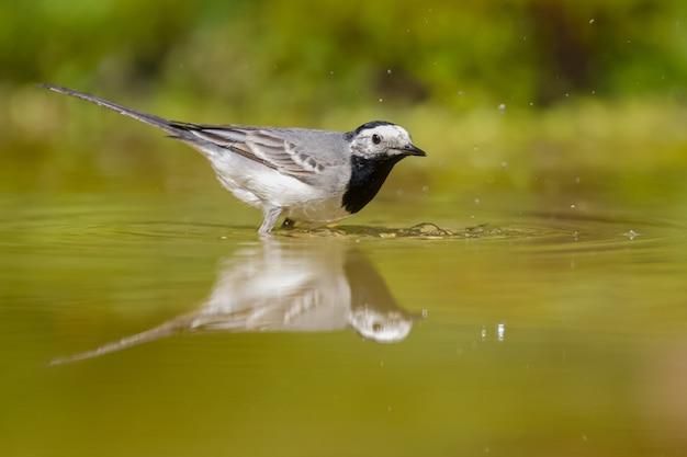 Selectieve focus shot van een kwikstaart vogel op het water tijdens daglicht Gratis Foto