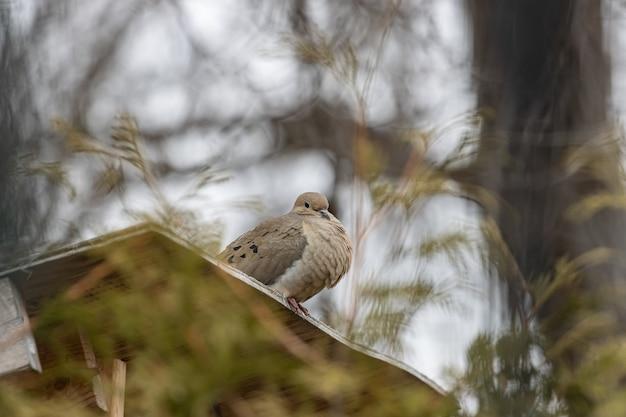 Selectieve focus shot van een mooie rouw duif rustend op een houten oppervlak Gratis Foto