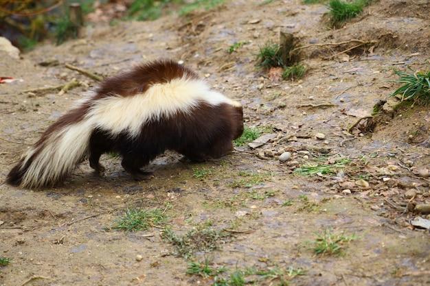 Selectieve focus shot van een stinkdier dat rondloopt Gratis Foto