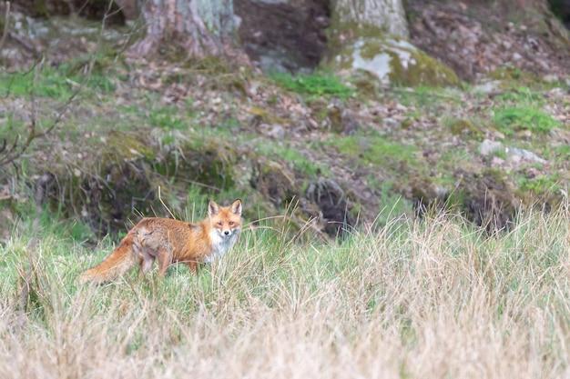 Selectieve focus shot van een vos in de verte terwijl je naar de camera kijkt in zweden Gratis Foto