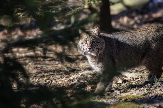 Selectieve focus shot van een wilde kat kijken Gratis Foto