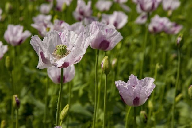 Selectieve focus shot van mooie roze papavers groeien in het veld in oxfordshire, uk Gratis Foto