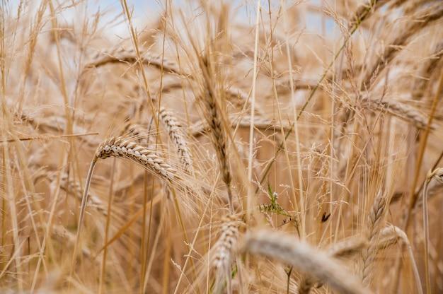 Selectieve focus shot van tarwe gewassen op het veld met een onscherpe achtergrond Gratis Foto