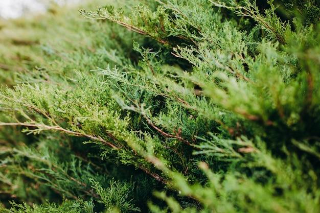 Selectieve focus shot van thuja groenblijvende boomtakken Gratis Foto