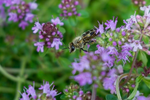 Selectieve opname van een honingbij zittend op een paarse bloem Gratis Foto