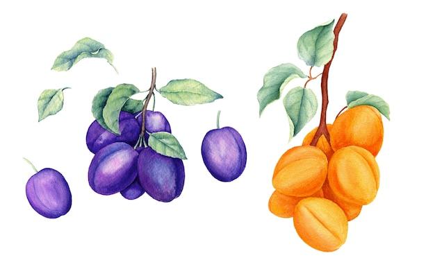 Set van fruit vintage aquarel botanische illustratie Premium Foto