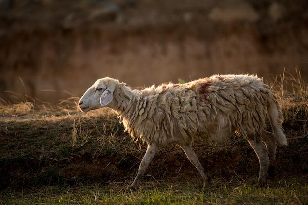 Sheeps in een weide op groen gras Premium Foto