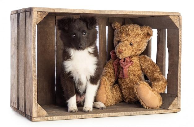 Shetland sheepdog in een houten krat Premium Foto