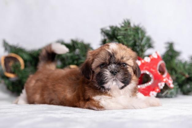 Shih tzu-puppy op wit met kerstmisdecoratie. Premium Foto