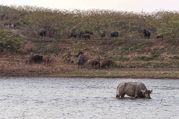 Shot van buffels aan de kust en in het doi tao-meer, thailand, azië Gratis Foto