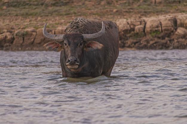 Shot van de buffels kijken naar de camera in doi tao lake, thailand Gratis Foto