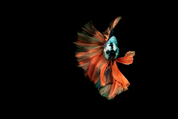 Siamese het vechten vissen. multikleur het vechten vissen op achtergrondachtergrond die worden geïsoleerd. Premium Foto