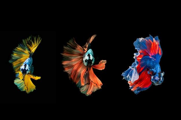 Siamese kempvissen. multi kleur kempvissen Premium Foto